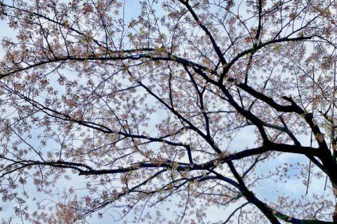 山形桜咲いてます!4/16金よりフォーラム山形!4/15木チュプキタバタ最終日!